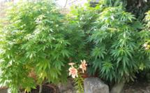 À Barentin, le quadragénaire cultivait des plants de cannabis dans son pavillon pour sa consommation