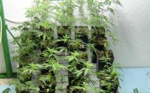 Le Havre : le consommateur d'herbe de cannabis cultivait sa drogue dans son appartement