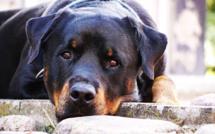 Eure : un enfant de 6 ans mordu au visage par un chien à Courbépine