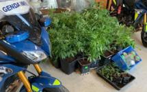 Eure : 50 pieds de cannabis découverts chez un conducteur contrôlé positif aux stupéfiants
