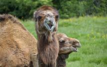 Grand-Quevilly : chameaux, buffles, lamas... victimes d'un acte de malveillance