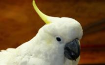 Le Cacatoès volé dans une animalerie près de Dieppe a été retrouvé sain et sauf à Fécamp