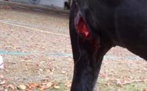 Un cheval du cirque Seneca blessé à l'arme blanche près de Rouen : une plainte est déposée