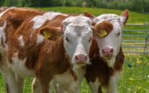 Une dizaine de vaches tuées par une draisine de maintenance sur la ligne SNCF Rouen - Le Havre