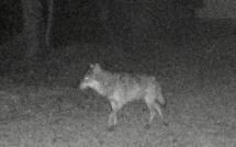 Seine-Maritime : un loup photographié à Londinières dans le Pays de Bray ?
