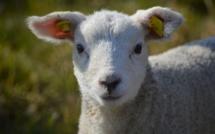 Au Havre, un agneau de 4 mois battu à mort dans les Jardins suspendus : une enquête est ouverte