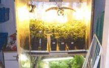 Le fumeur de joints cultivait de l'herbe de cannabis pour sa consommation personnelle