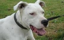 Femme attaquée par un chien à Rouen : le propriétaire du Dogue argentin remis en liberté