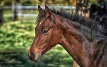 Un cheval retrouvé sérieusement blessé à la cuisse dans son enclos à Mesnil-en-Ouche, dans l'Eure