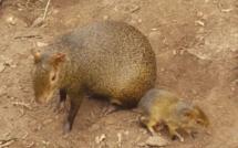 Naissance de bébés agoutis d'Azara à la serre zoologique Biotropica de Val-de-Reuil