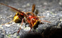Des nids de frelons asiatiques détruits dans l'Eure