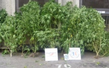 Il faisait pousser des plants de cannabis dans son jardin à Petit-Quevilly