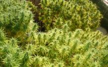 Une plantation de cannabis détectée par la caméra thermique de l'hélico des gendarmes !