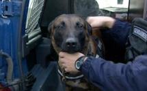 A Bernay, le chien des gendarmes mord à la cuisse et aux fesses un agresseur trop excité