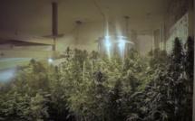 400 pieds de cannabis découverts dans un pavillon à Harfleur : trois interpellations