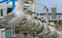 Au Havre, la chasse aux nuisances sonores passe par la stérilisation des œufs de goélands