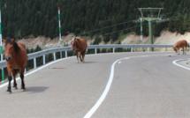 La Laguna percute un cheval puis un véhicule près de Dieppe : le conducteur est décédé