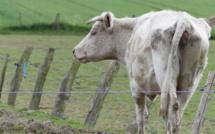"""Suspicion de """"carences"""" dans un élevage de bovins en Seine-Maritime : la préfecture enquête"""